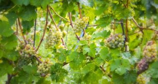 vino passito friulano